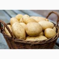 Закупка картофеля 1-2 сорта на месте
