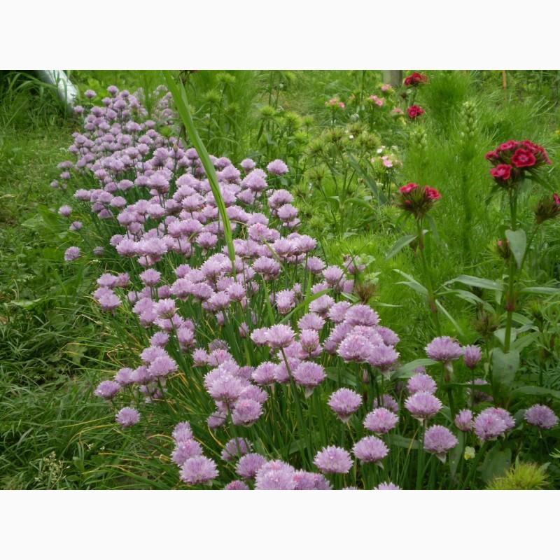 Фото 11. Многолетние цветы для Вашего сада весна 2018