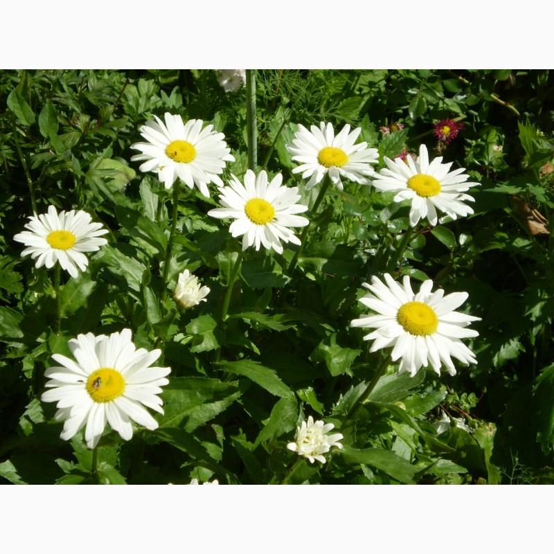Фото 12. Многолетние цветы для Вашего сада весна 2018