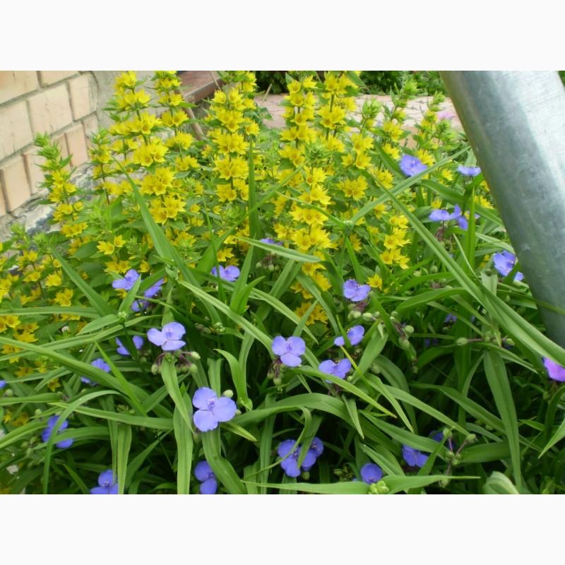 Фото 13. Многолетние цветы для Вашего сада весна 2018
