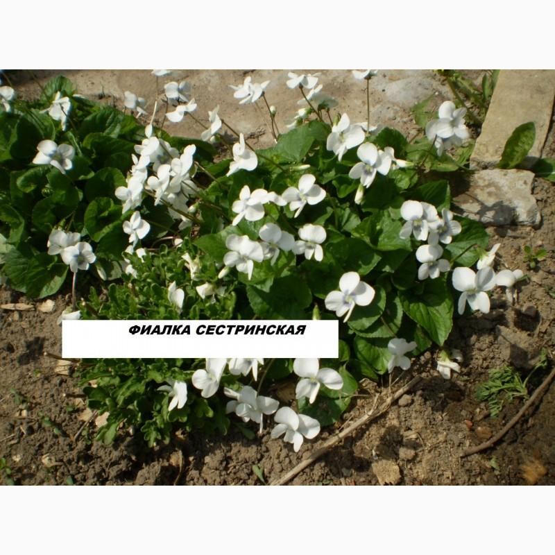 Фото 2. Многолетние цветы для Вашего сада весна 2018