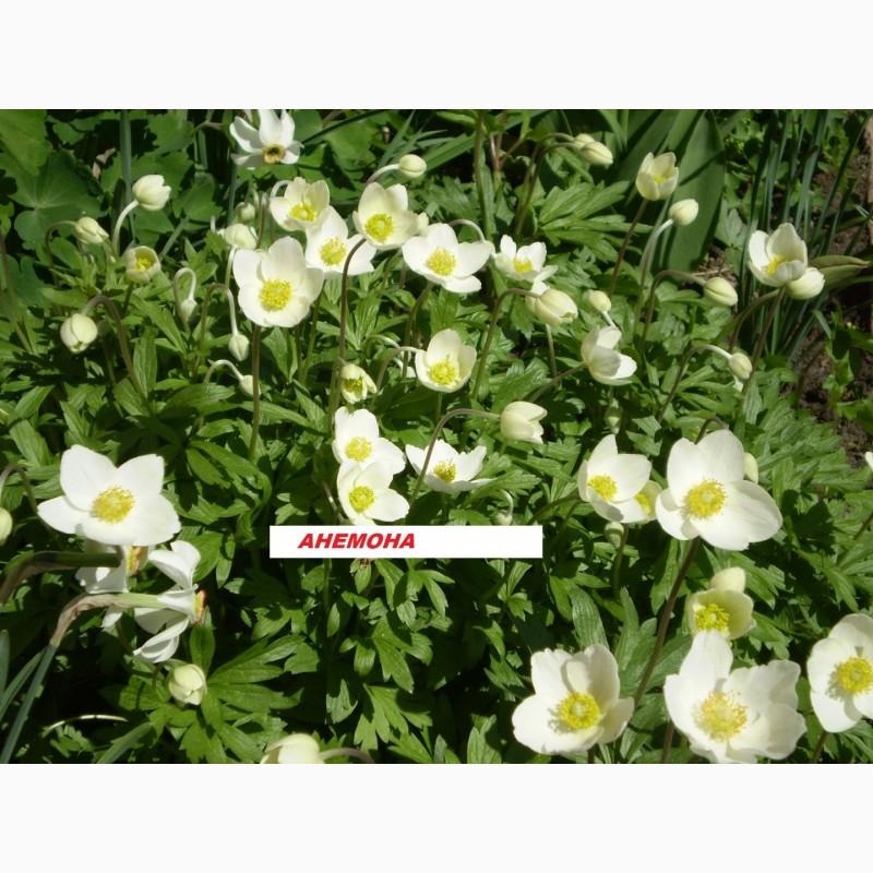 Фото 3. Многолетние цветы для Вашего сада весна 2018