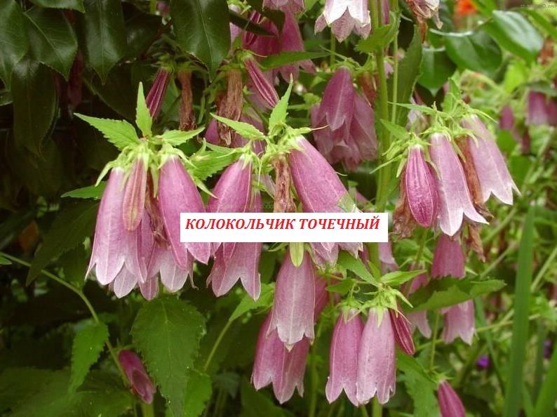 Фото 4. Многолетние цветы для Вашего сада весна 2018