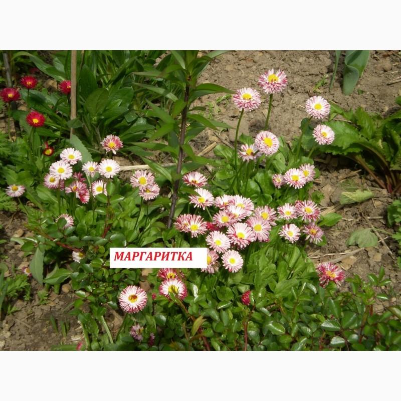 Фото 5. Многолетние цветы для Вашего сада весна 2018