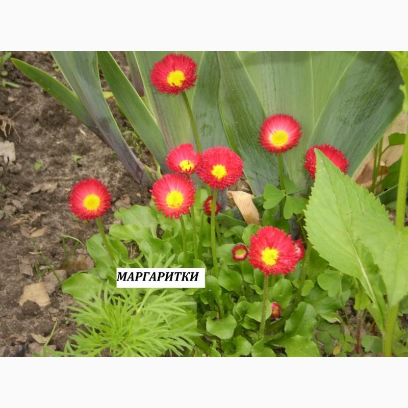 Фото 9. Многолетние цветы для Вашего сада весна 2018
