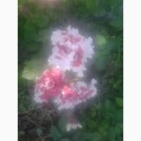Продам садові квіти такі як: петунія, сальвія, вербена, пеларгонія, віола, чорнобривці