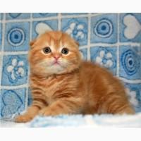 Шикарный породный шотландский котенок