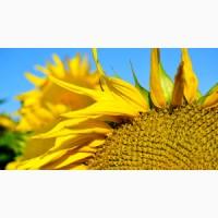 Посівний матеріал (насіння соняшнику, кукурудзи, цукровий буряк, ріпак)