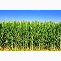 Днепровский 181 СВ ФАО 180 семена кукурузы