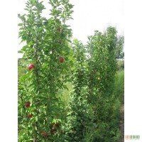 Оптовая продажа саженцев фруктовых деревьев: абрикос, слива, персик