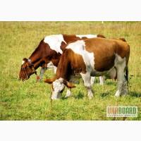 Швицкая бурая порода коров