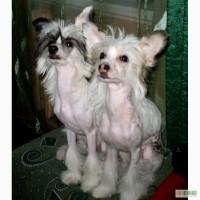 Щенки Китайской Хохлатой, 5 месяцев, прививки, щенячка