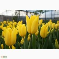 Всегда Продаем оптом Тюльпаны, альстромерия и гиацинты к 8 марта!
