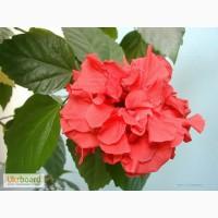 Продам гибискус комнатный красный махровый (китайская роза)