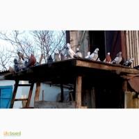 Продам голубей старой херсонской породы