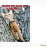 Абиссинские котята из питомника BURLESK ABY