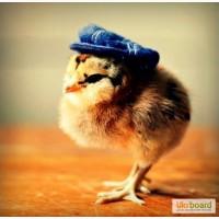 Цыплята = зерно