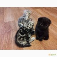 В продаже чистокровные британские вислоухие котята