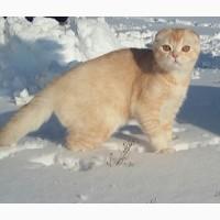 Снежный барс! Продается будущий племенной котик производитель scottish fold редкого окраса