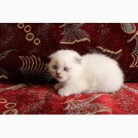 Плюшевые котята скоттиш фолд