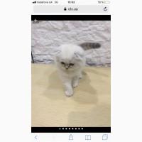 Продаются два шотландских котенка-мальчика