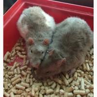 Отдам крысенка / крыса / крысята / крысенок