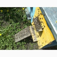 Бджоли, пасіка, бджолосімї продам