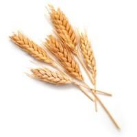 Куплю пшеницу (некондицию) с головней и пр