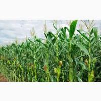 Гибрид Новий ФАО 330 семена кукурузы