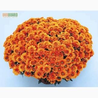 Маточники хризантем осенью