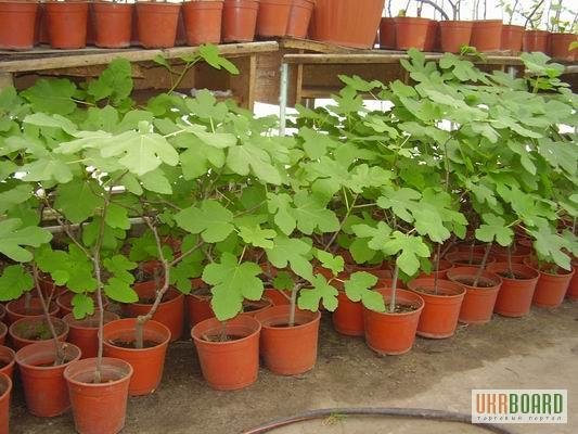 Кімнатні плодові рослини київська