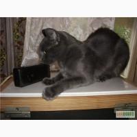 Подарю кота ориентального метиса