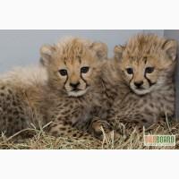 Гепард, білий лев, бенгальський тигр, сервалов і Саванна кошенята