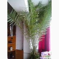 Продаю пальму финиковую