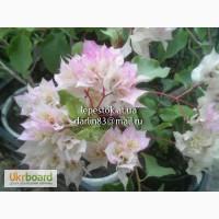 Бугенвиллии Limberlost Beauty