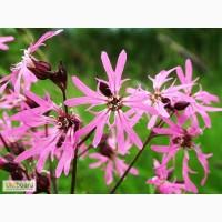 Коронария(кукушкин цвет), трава