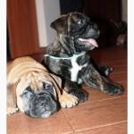 Продам щенков бульмастифа