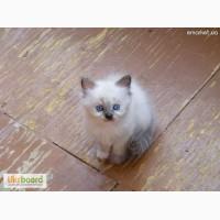 Котята Невская Маскарадная