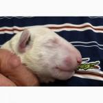 Шикарные щенки бультерьера белого окраса