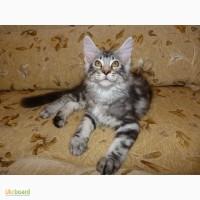 Клубные котята мейн-кун от питомника Forest Lynx