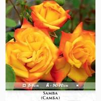 Розы - огромный выбор - саженцы: флорибунда