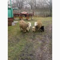Продам овечок