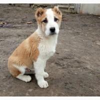 Продаются щенки Среднеазиатской овчарки