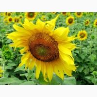 НС ТАУРУС насіння соняшника під євро-лайтнінг