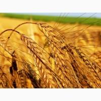 Продам пшеницу от 300т