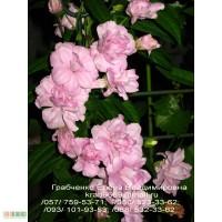 Продам красиваю лиану (калистегия Флер Хорт)