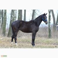 Продам молодую спортивную лошадь элит класса