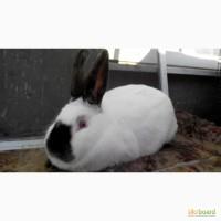 Продаються кролики породи Каліфорнієць