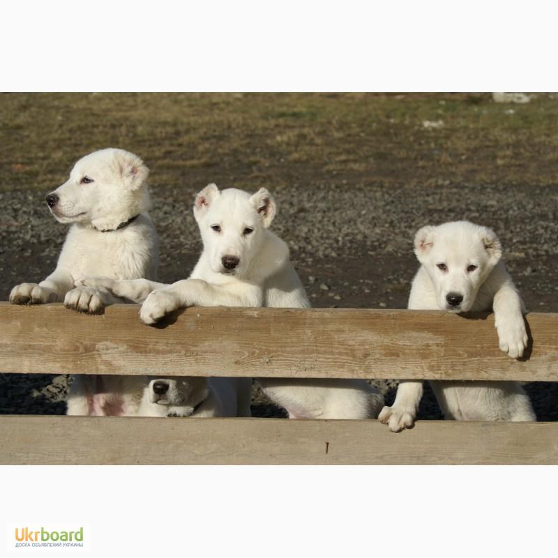 куплю щенка алабая в луцке