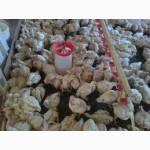 Продам подрощенных цыплят бройлера
